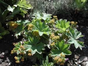 artemisia jardin botanique